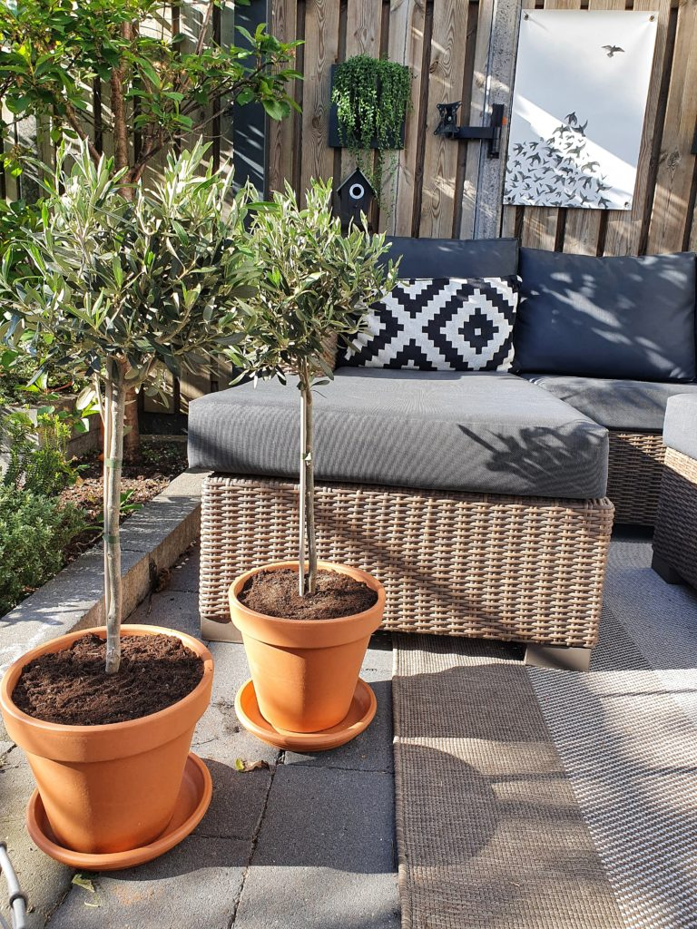 olijfboom verzorgen