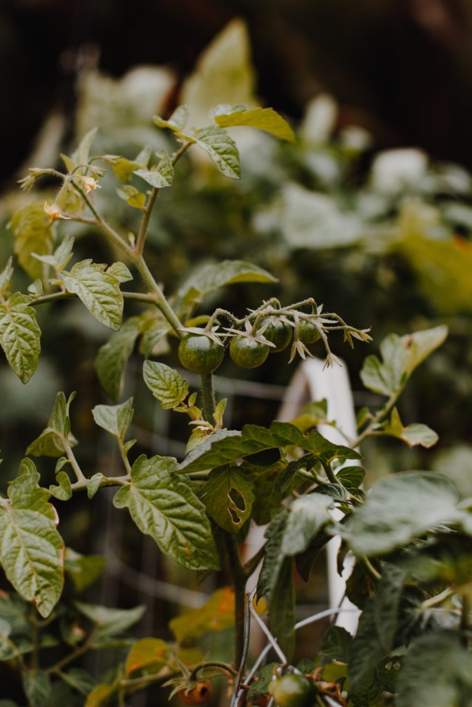 stekjes tomatenplant